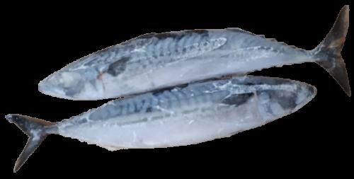 ปลาซาบะนอร์เวย์